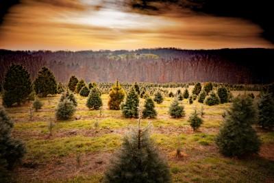 Evergreens Turn Brown - Keil Tree