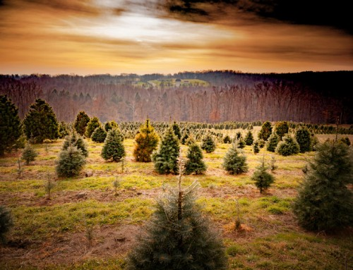 Evergreens Turn Brown Due To…