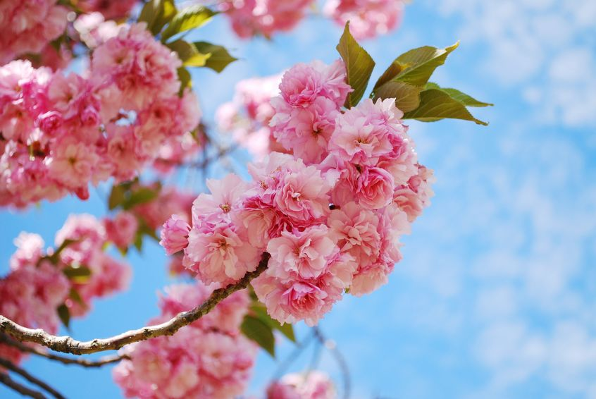 Flowering Trees Add Color In Spring