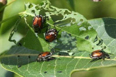 Japanese Beetles - Keil Tree