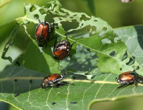 Japanese Beetles Infiltrate Gardens