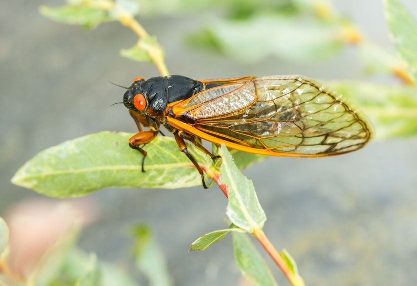 Cicadas Visit More Often Than Every 17 Years