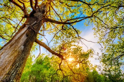 Tree Health - Keil Tree