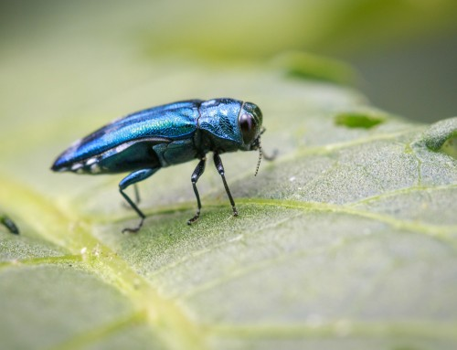 Tree Service in Baltimore County MD Helps You Learn About the Emerald Ash Borer
