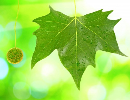 Tree Service in Hunt Valley MD Explains: The Meaning of Brown Spots on Maple Leaves