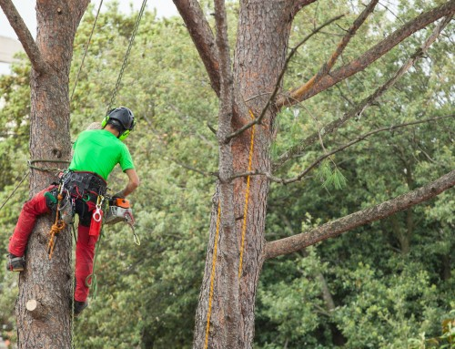 Should Trees be Trimmed in the Fall?