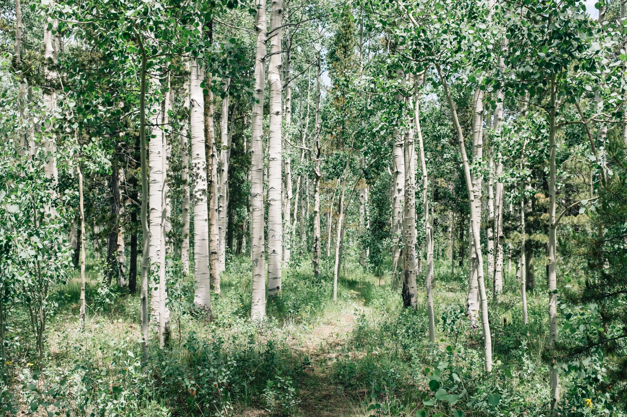Tips to Keep Your Birch Tree Healthy