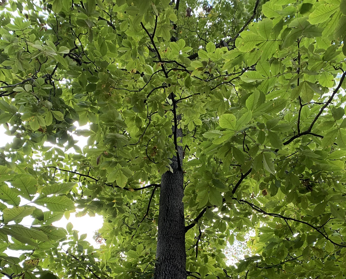 A Closer Look at the Pignut Hickory Tree