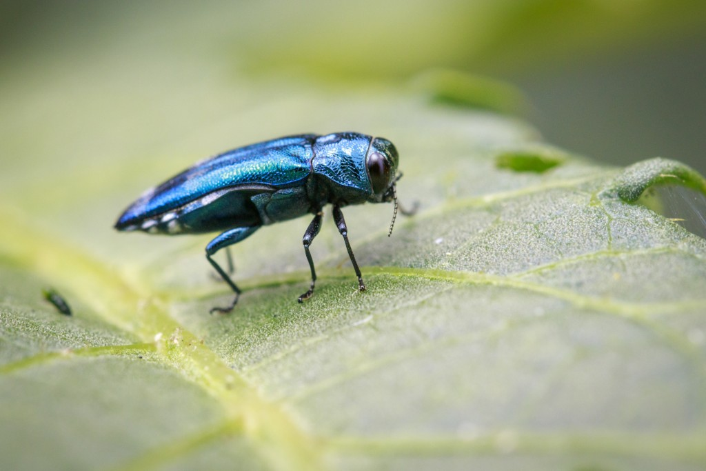 Treat Now to Protect Against Emerald Ash Borers