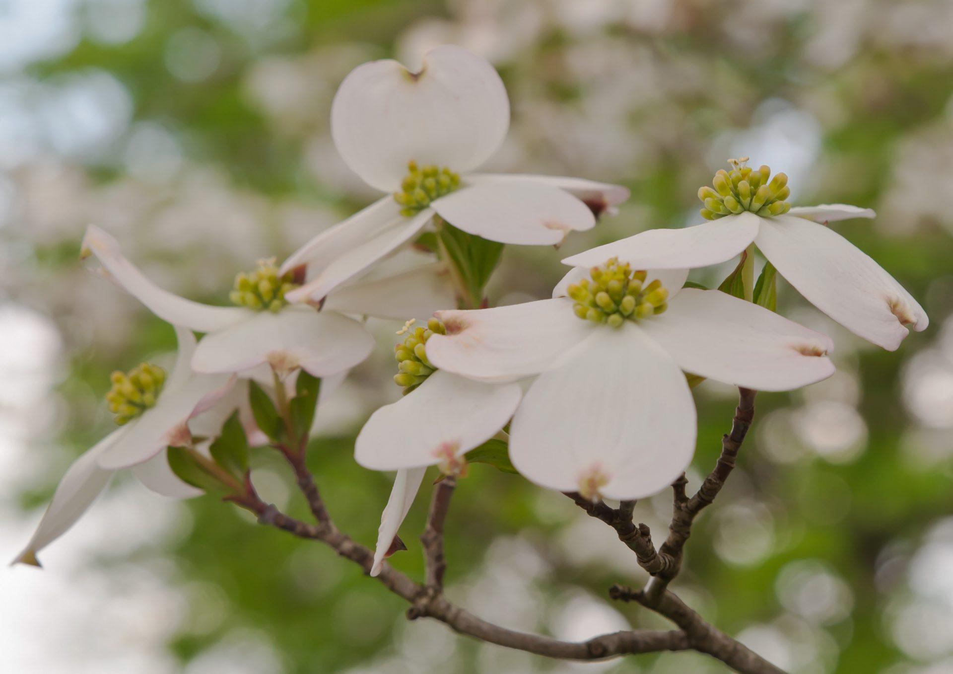 Tree Service Treats Dogwood Anthracnose